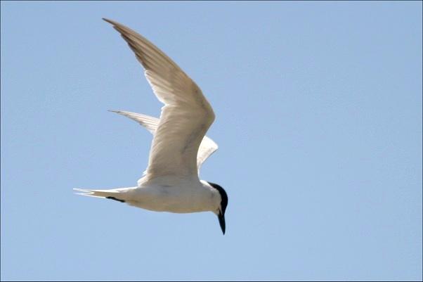 Gull-billed tern (from Bird-friends.com)