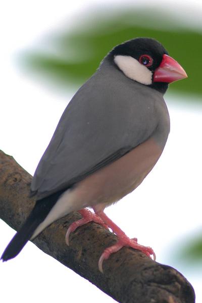 Rizarica (java sparrow) JavaSparrow0LR