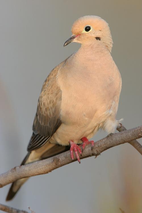Wrestling dove